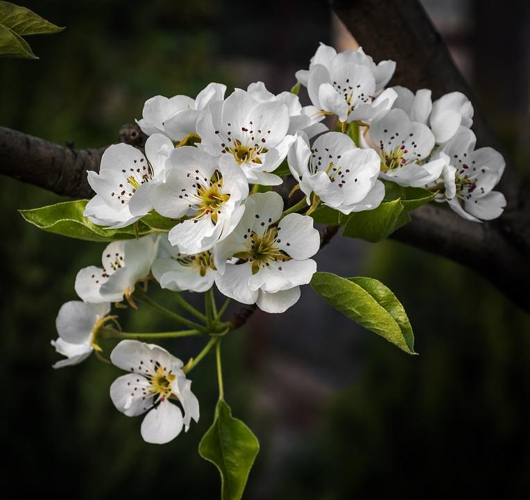 pear-tree-730330_960_720